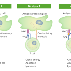 2-signal model - T-cell dependence on costimulation