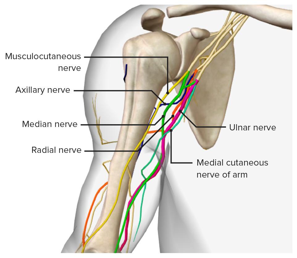 5 terminal branches of the brachial plexus