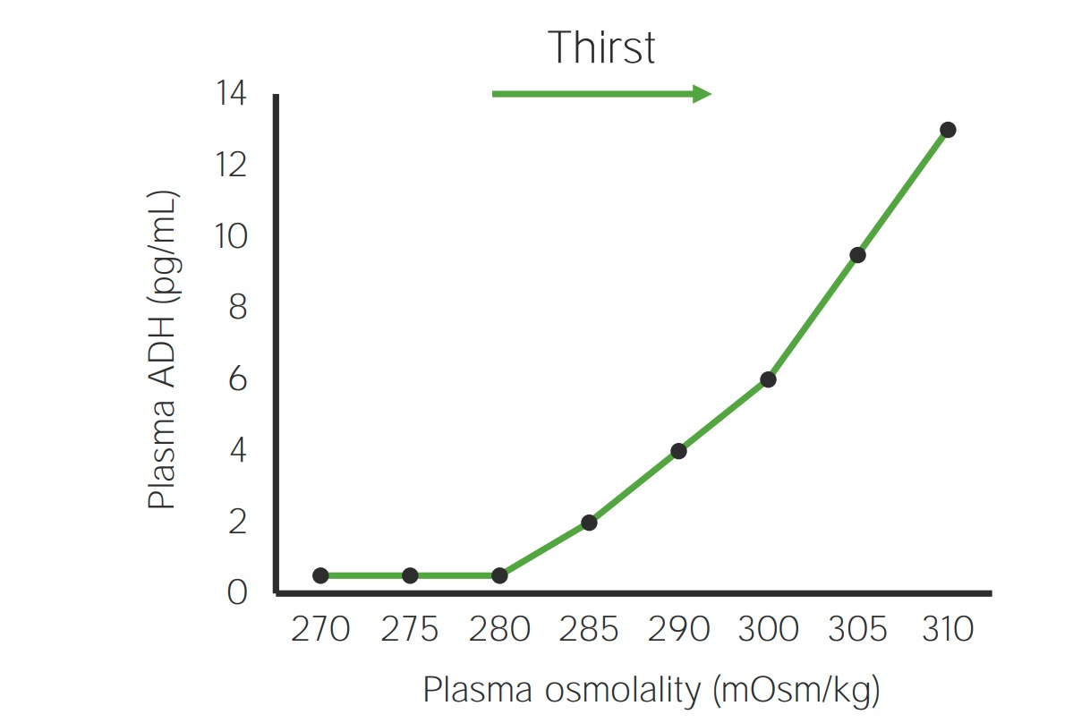 Water regulation is primarily controlled by osmoreceptors in the hypothalamus, which maintains the plasma osmolality very tightly. Very small changes in plasma osmolality result in changes in the release of antidiuretic hormone (ADH) and the sensation of thirst. Osmoreceptors: Are located in the hypothalamus Detect changes in plasma osmolality (which are caused by changes in water balance) ↑ plasma osmolality sensed by the hypothalamus triggers: Release of ADH from the posterior pituitary Thirst ADH binds to: V2 receptors on the basolateral membrane of collecting duct cells → stimulate insertion of aquaporin channels into the apical membrane V1A receptors in vasculature → causes vasoconstriction Overall effect: ↑ plasma osmolality → ↑ ADH → ↑ aquaporins → ↑ water reabsorption ↓ plasma osmolality → ↓ ADH → ↓ aquaporins → ↑ water excretion Normal ADH levels: Usually minimal when the plasma osmolality is in the normal range ADH secretion increases linearly once plasma osmolality is elevated