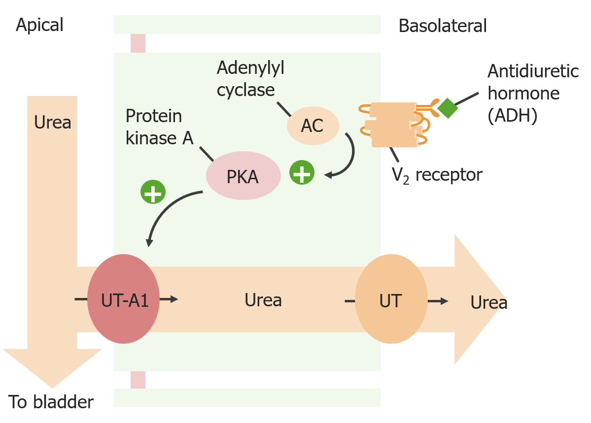 ADH-mediated urea reabsorption