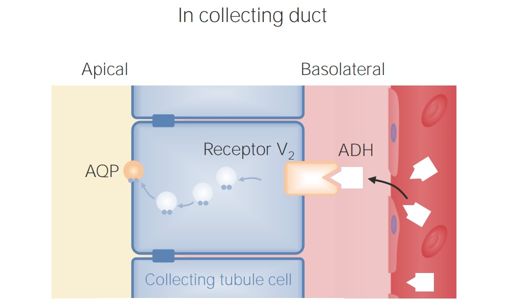 ADH receptor in collecting ducts