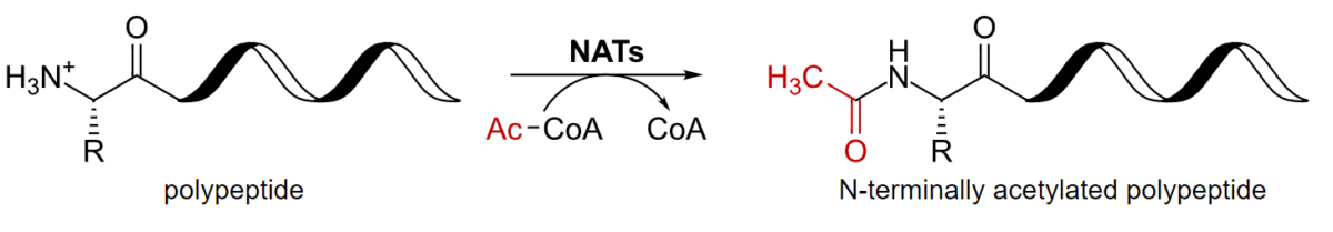 Acetylation of a polypeptide