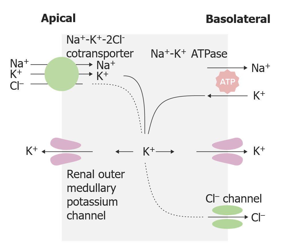 Action of loop diuretics