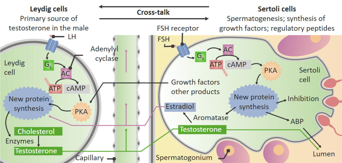 Actions of LH and FSH on the testes
