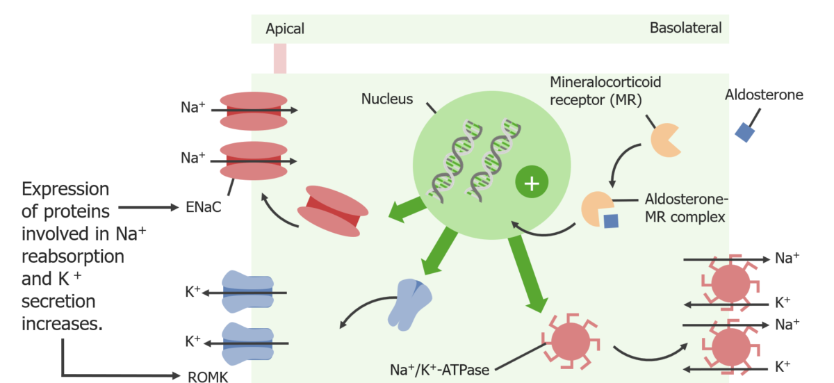 Actions of aldosterone at the principal cell
