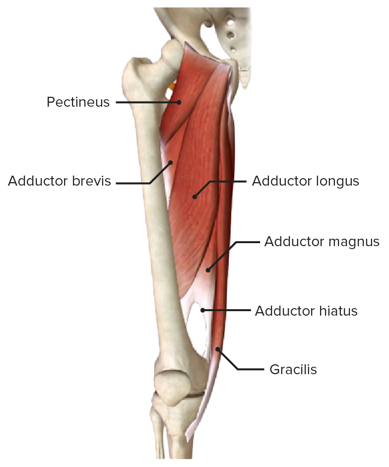 Adductor muscles of the hip joint