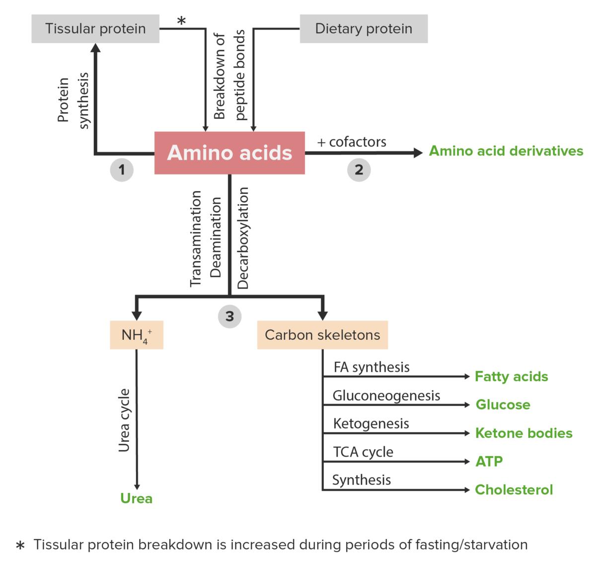 Amino acid catabolism diagram