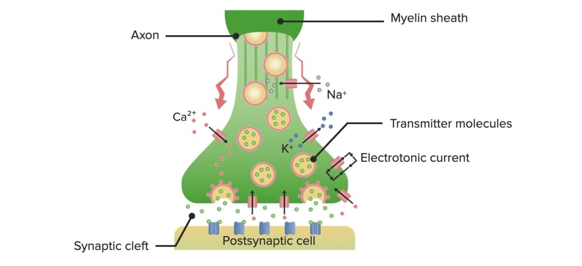 An-overview-of-neurotransmission-at-the-synapse