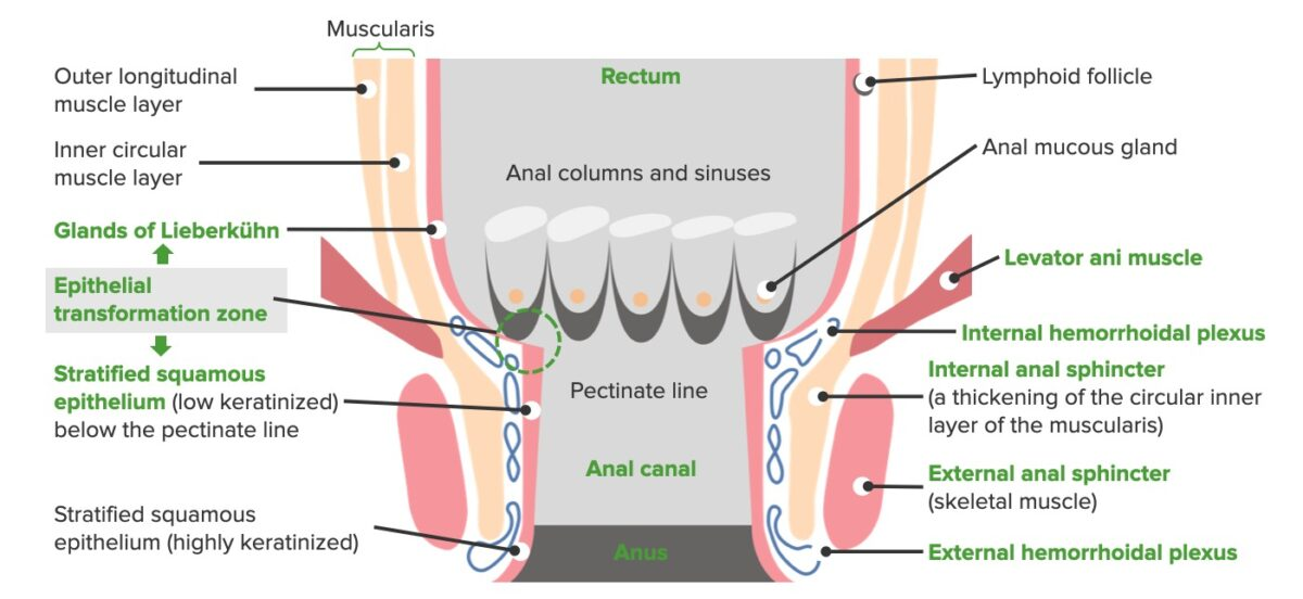 Anal canal anatomy