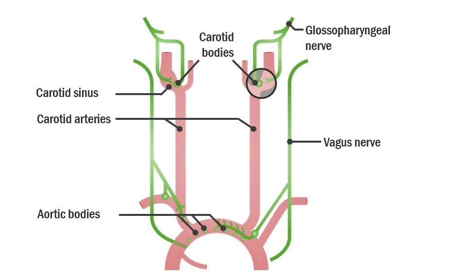 Anatomical location of peripheral chemoreceptors Respiratory Regulation