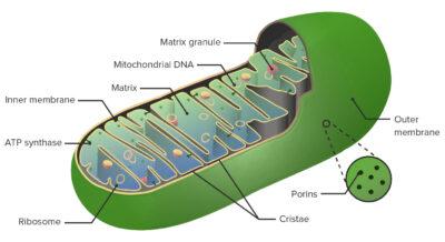 Anatomy of Mitochondrion