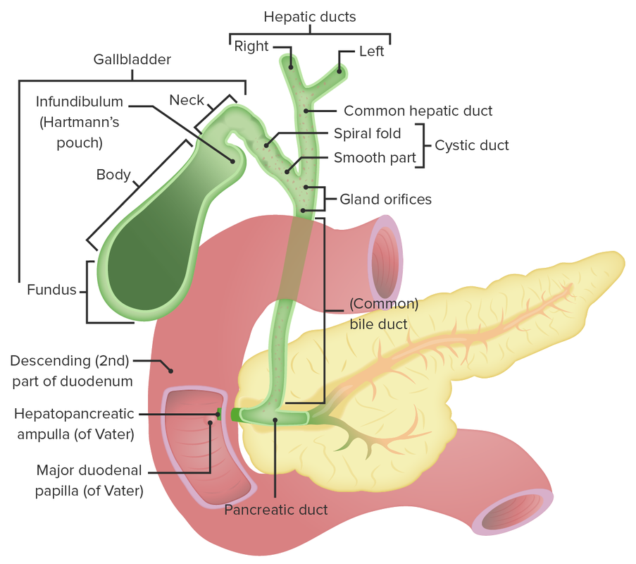 Anatomy of the gallbladder and the biliary tree (Cholecystectomy)