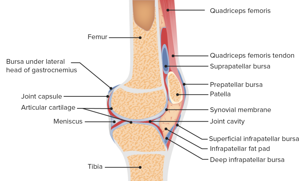 Anatomy of the patellofemoral joint