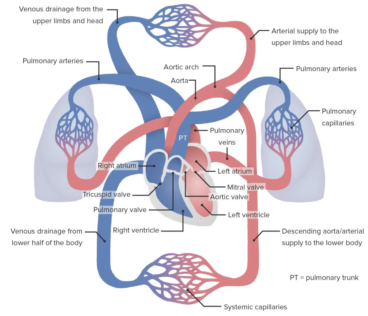 Anatomy review for pulmonary hypertension