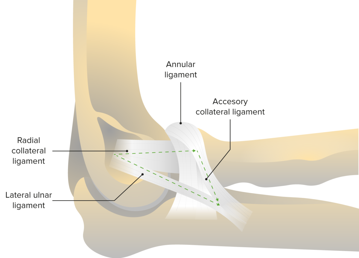 Annular ligament and radial collateral ligament