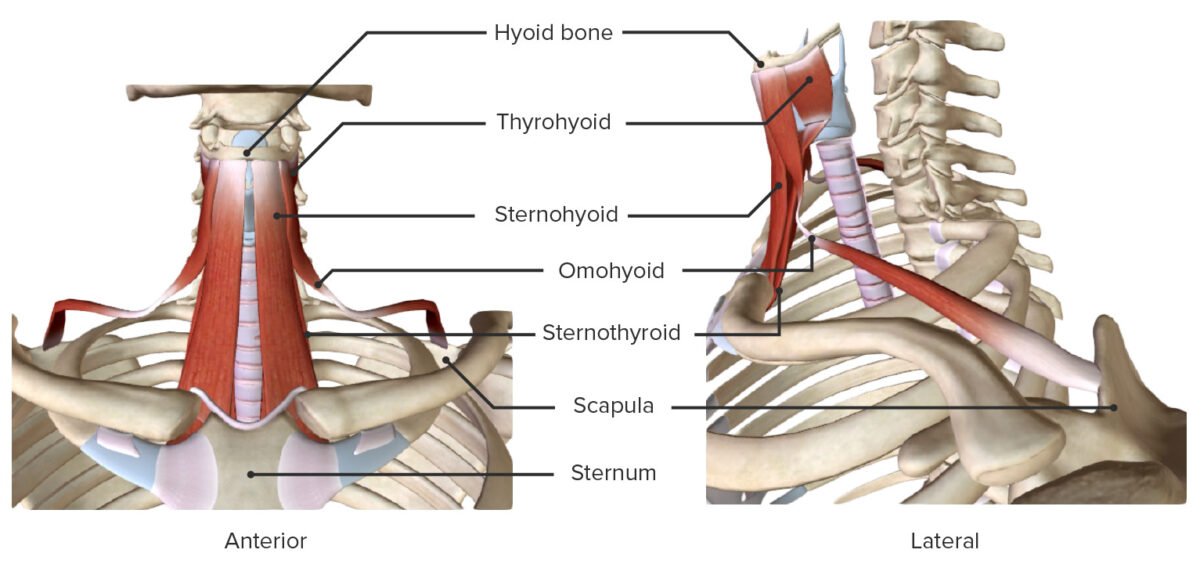 Anterior and lateral views of the infrahyoid group of the extrinsic laryngeal muscles