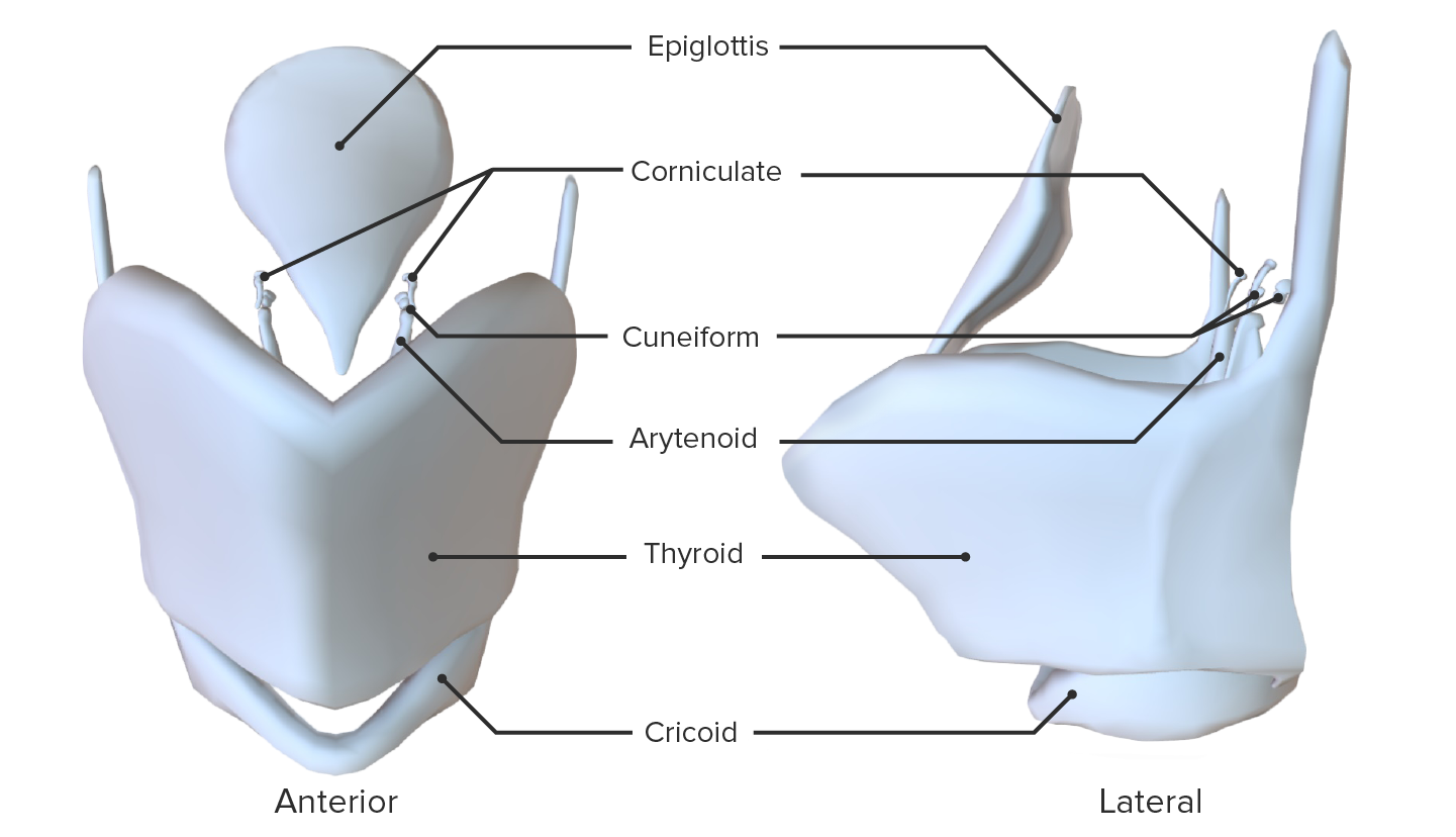 Anterior and lateral views of the isolated cartilages of the larynx