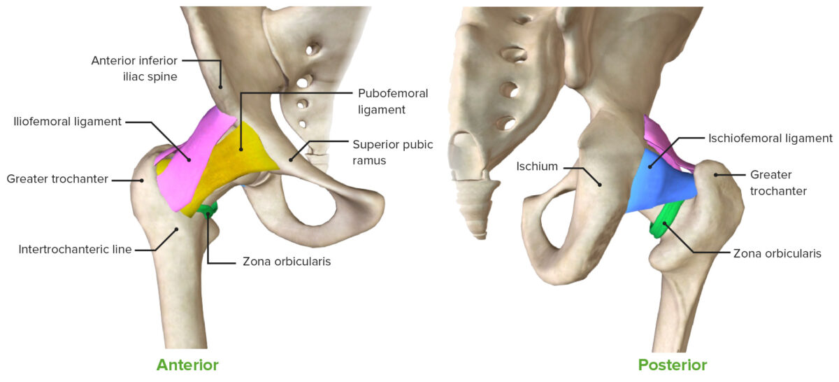Anterior and posterior views of the hip joint