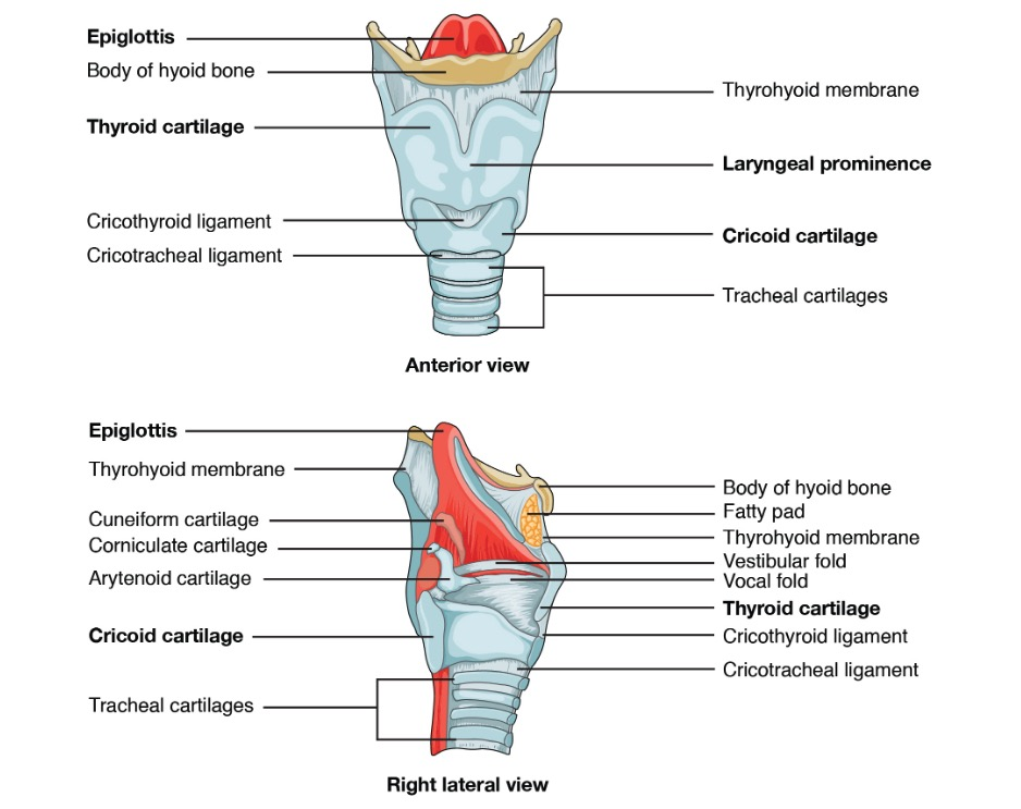 Anterior and right lateral views of the larynx