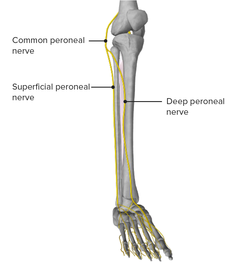 Anterior leg - innervation
