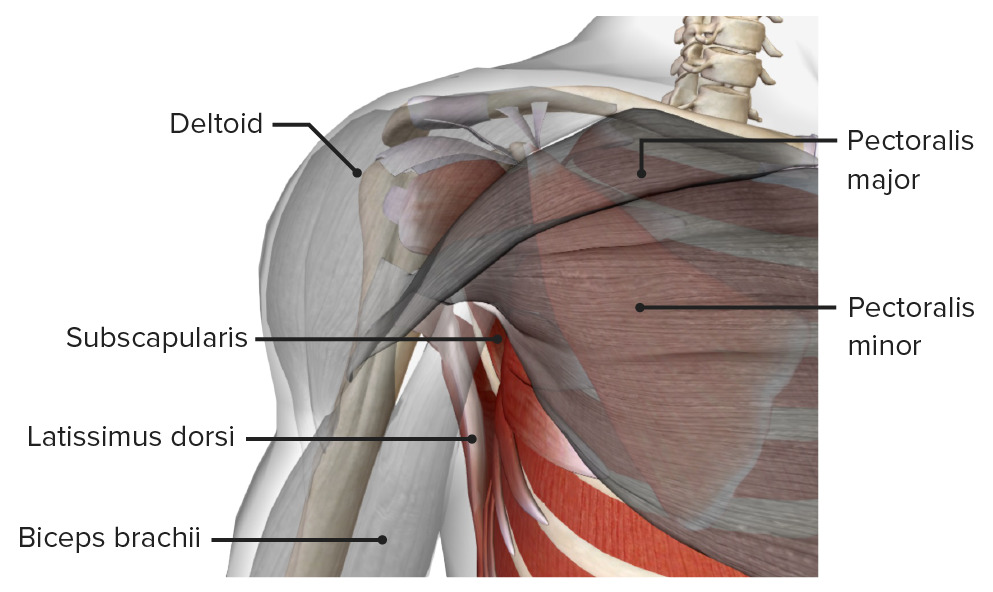 Anterior view of the axilla, featuring the anterior wall