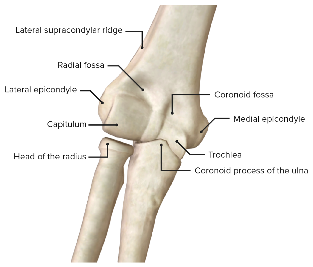 Anterior view of the elbow