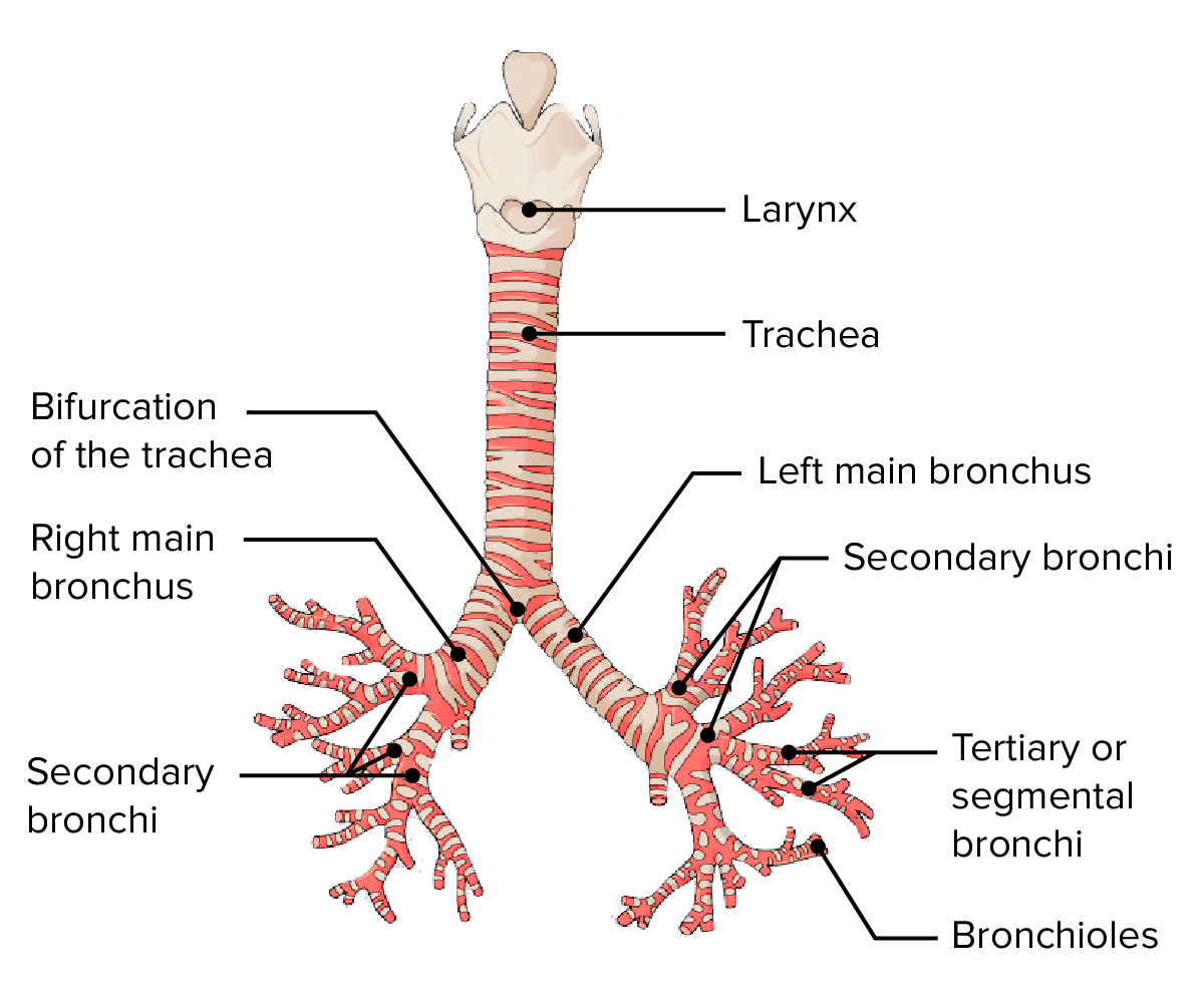 Anterior view of the larynx, trachea, and bronchial tree