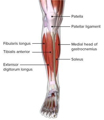 Anterior view of the leg