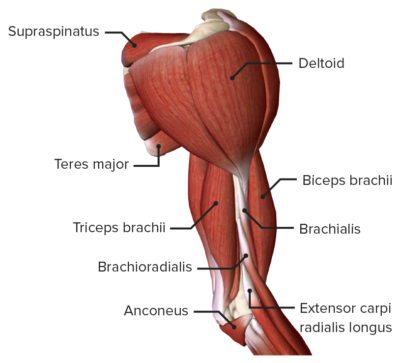 Anterior view of the right arm