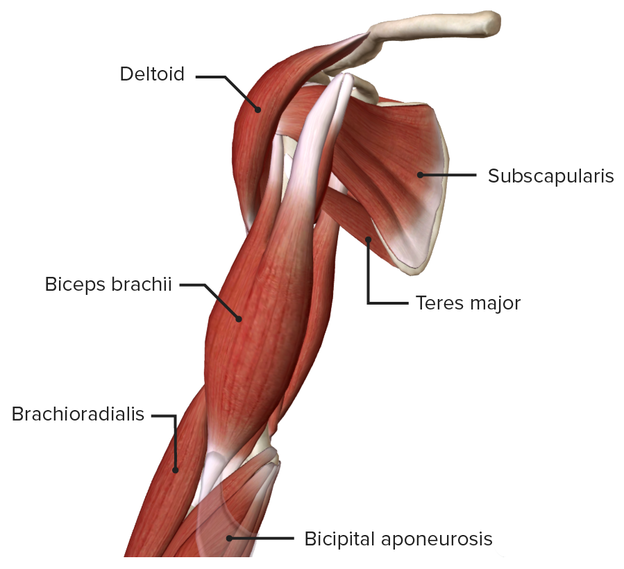 Anterior view of the right arm, featuring the muscles of the anterior compartment
