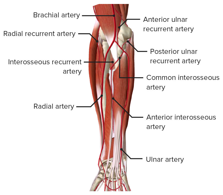 Anterior view of the right forearm, featuring the arteries of the forearm in the deep muscle layer