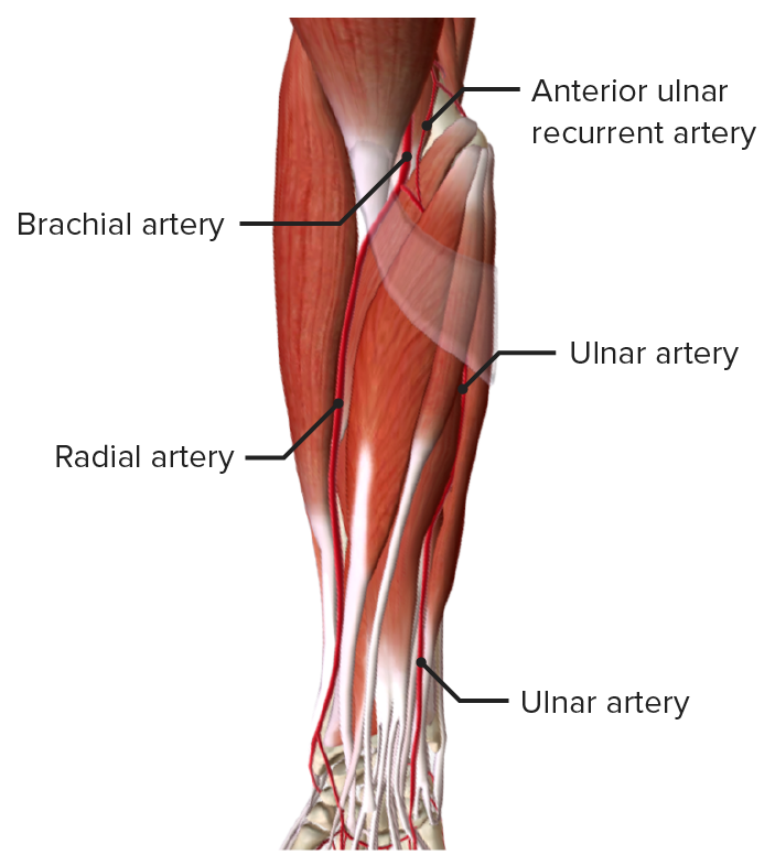 Anterior view of the right forearm, featuring the arteries of the forearm in the superficial muscle layer
