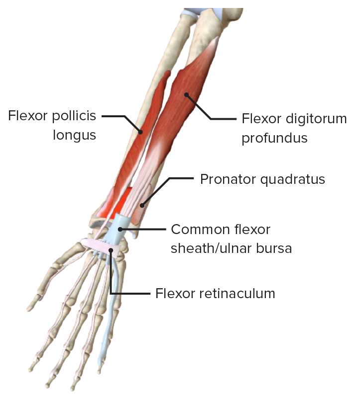 Anterior view of the right forearm, featuring the muscles of the deep layer of the anterior compartment