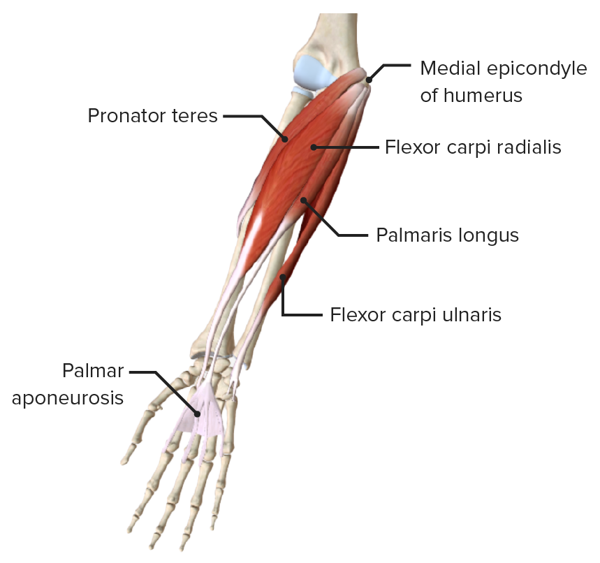 Anterior view of the right forearm, featuring the muscles of the superficial layer of the anterior compartment