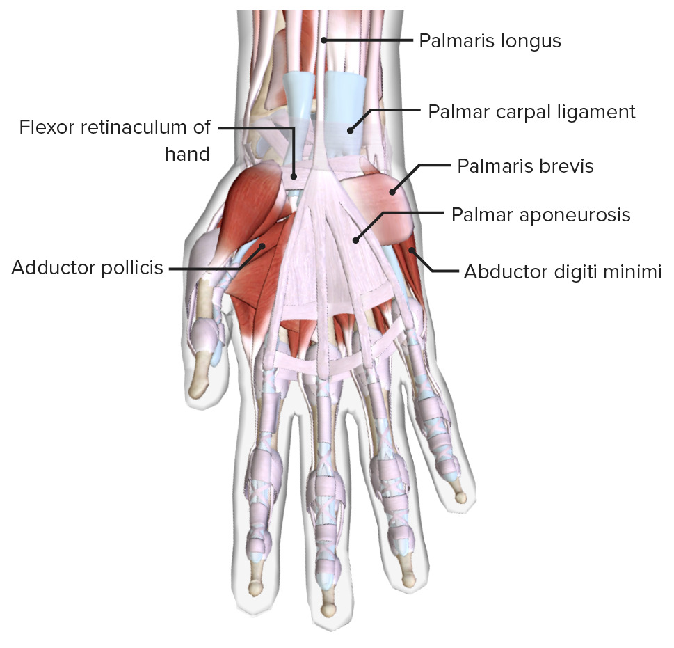Anterior view of the right hand, featuring the palm, thenar and hypothenar muscles