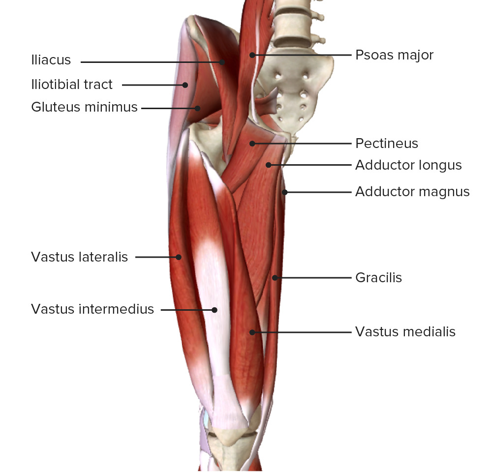 Anterior view of the right thigh featuring the intermediate muscular layer