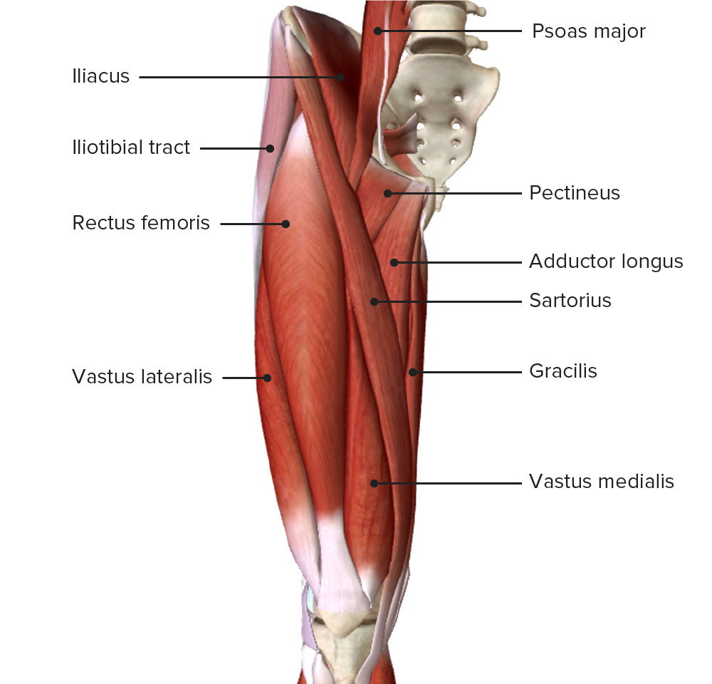 Anterior view of the right thigh featuring the muscles of the anterior compartment