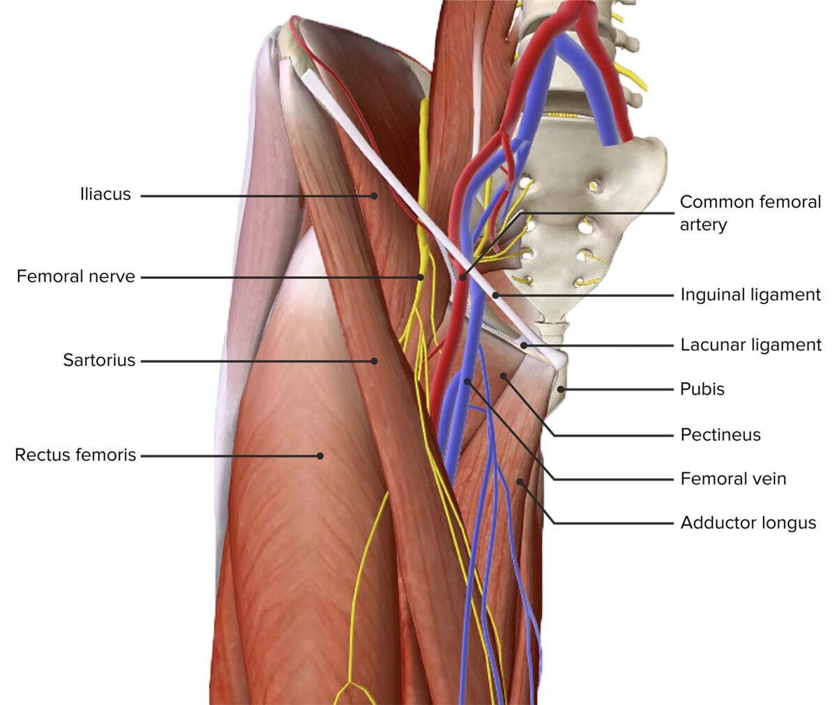 Anterior view of the thigh