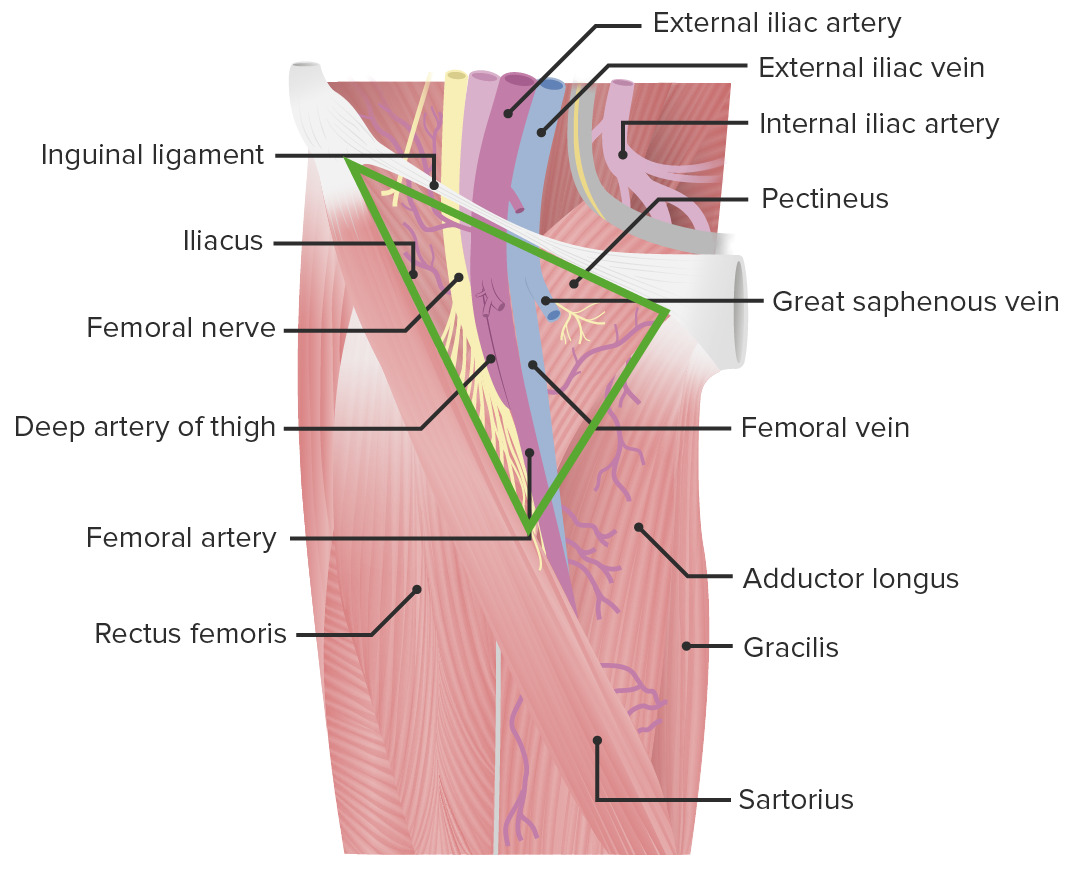 Anterior view of the thigh featuring the femoral triangle