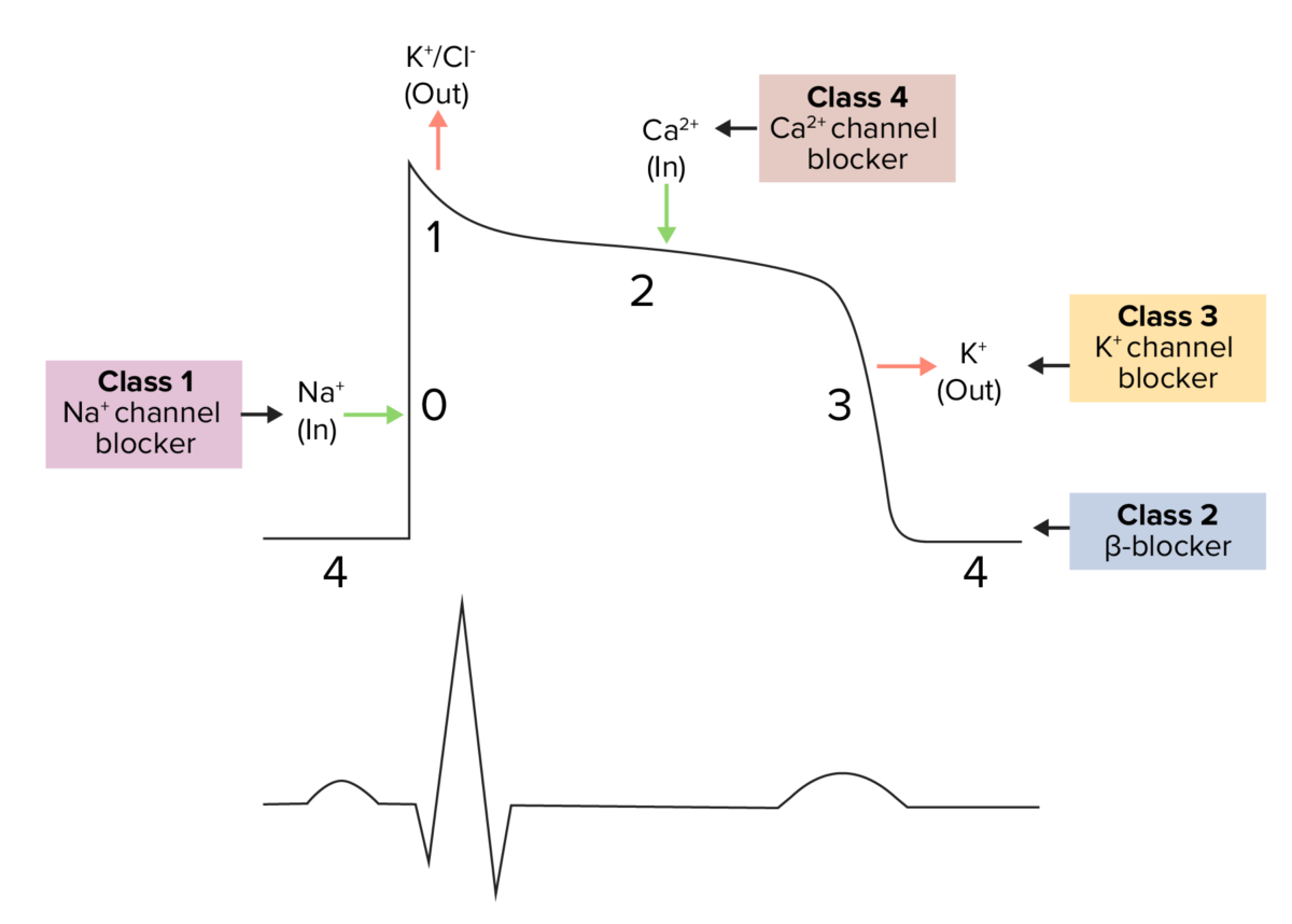 Antiarrhythmics mechanism of action