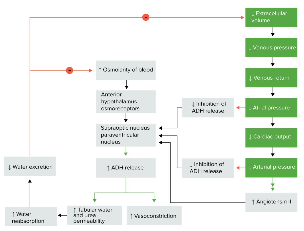 Antidiuretic hormone regulation