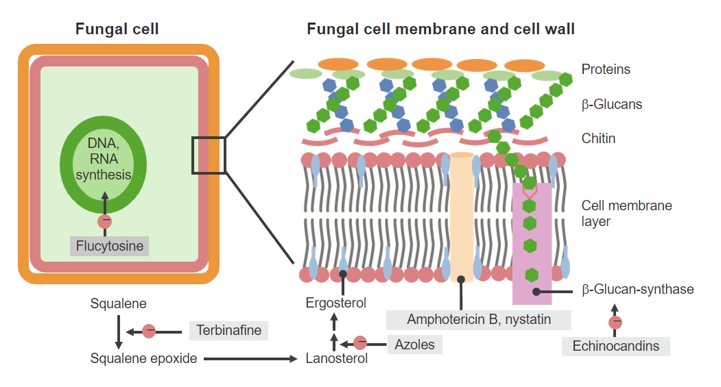 Antifungal agents and mechanisms of action