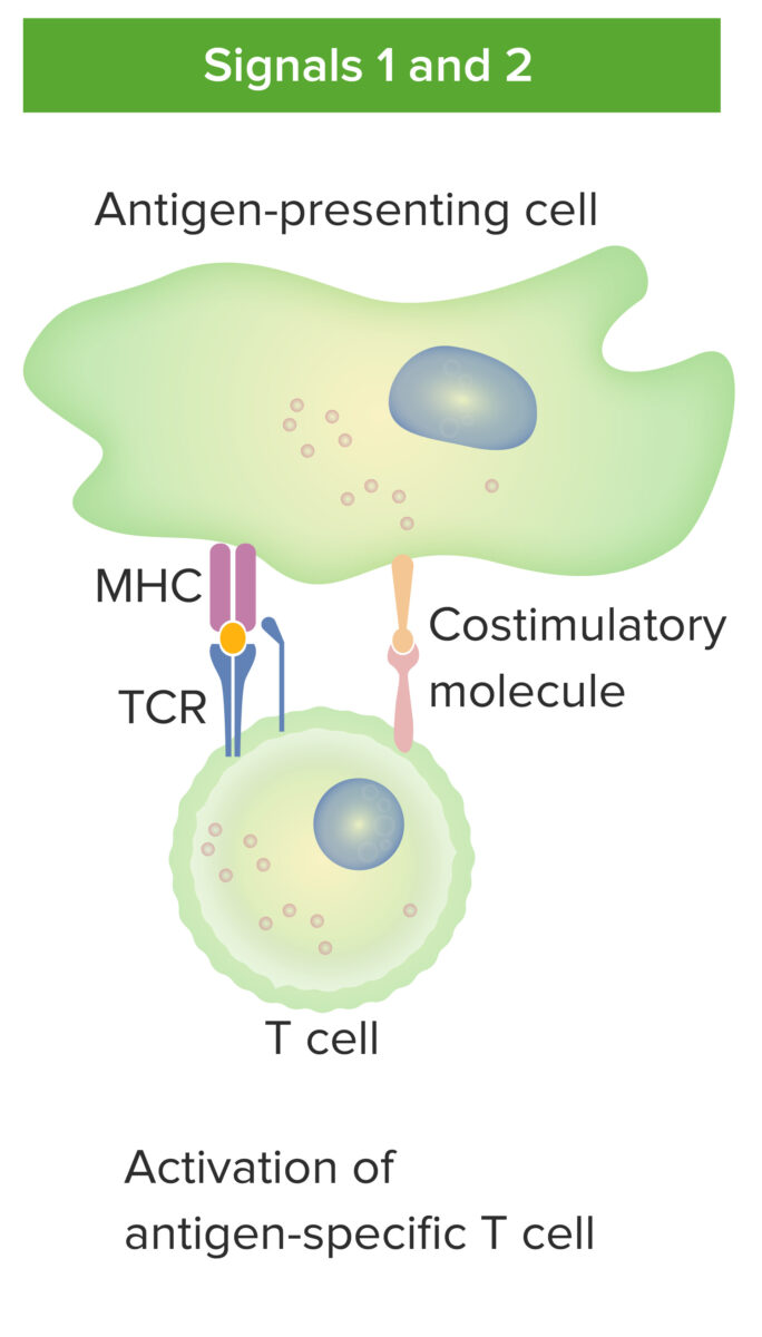 Antigen-presenting cell and T cell interaction