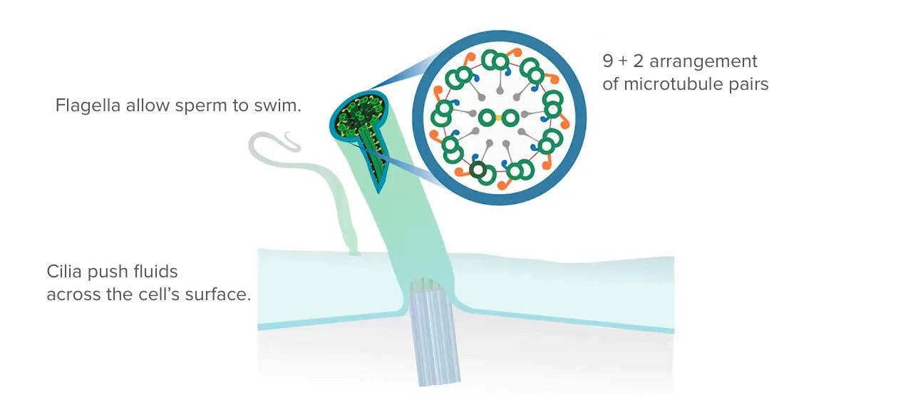Arrangement of microtubules
