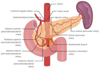 Arterial supply of the pancreas