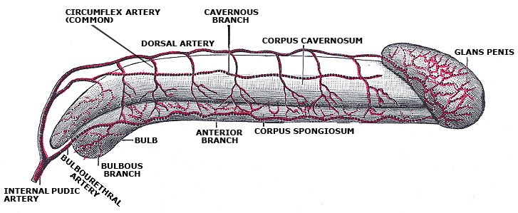 Arterial supply of the penis