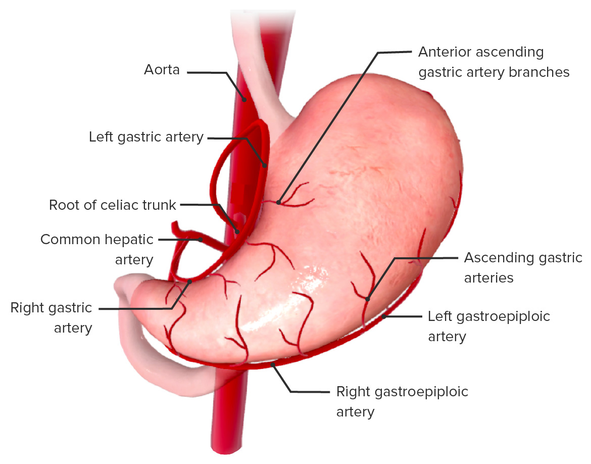 Arterial supply of the stomach