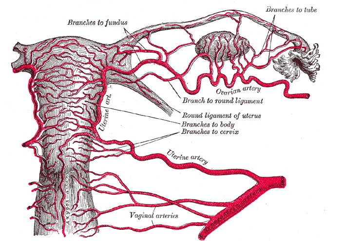 Arterial supply to the uterus and upper vagina