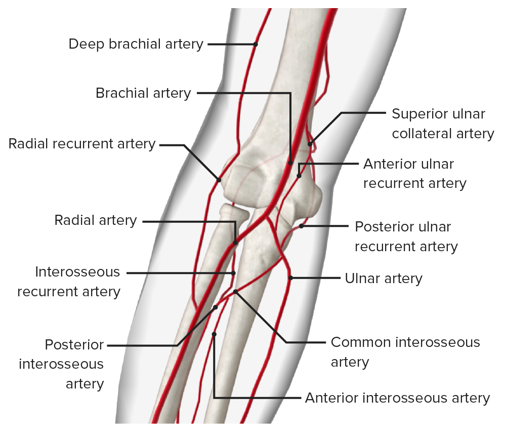 Arteries of the elbow