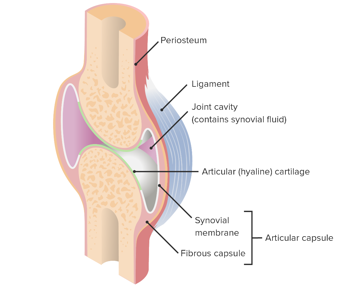 Articular capsule and components